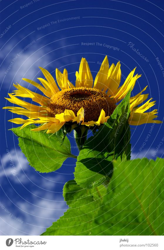 Sunny Sunflower Stalk Yellow Green Clouds Beautiful weather Blossom Flower Plant Living thing Daisy Family Field Good mood Kernels & Pits & Stones Healthy