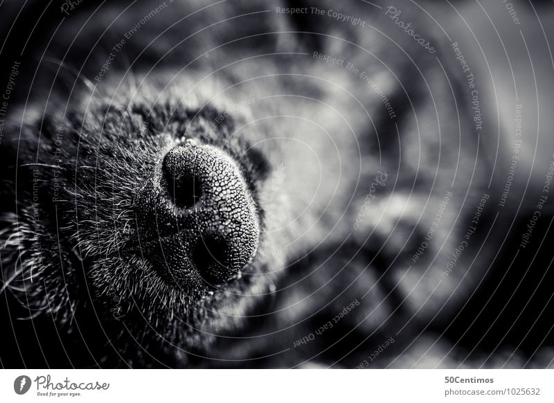 my dogs nose Animal Pet Dog Snout Nose 1 Sleep Happy Love of animals Black & white photo Detail Macro (Extreme close-up) Shallow depth of field