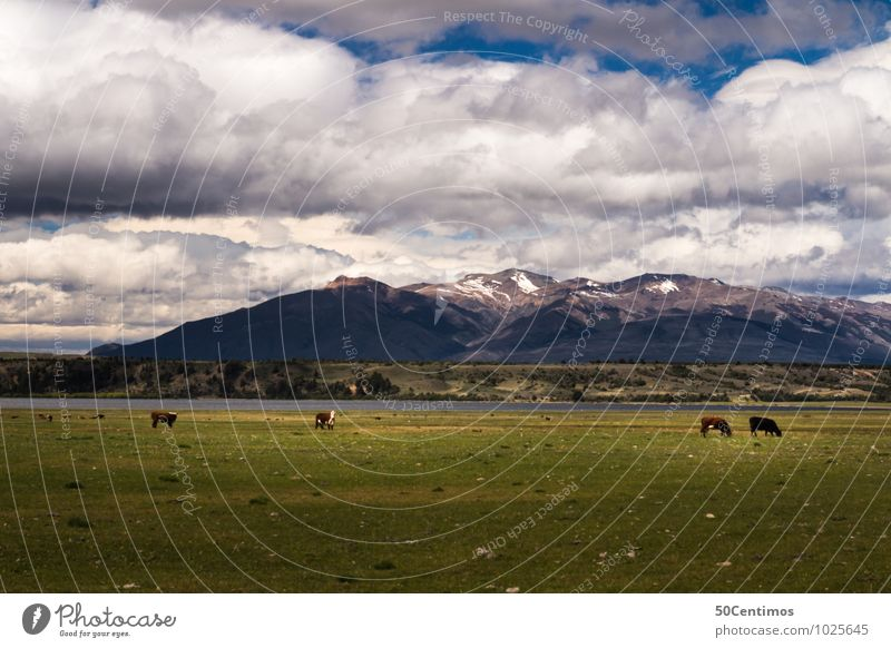 Cows in Argentina Vacation & Travel Trip Mountain Environment Nature Landscape Clouds Spring Summer Autumn Winter Weather Meadow Field Alps Peak Snowcapped peak