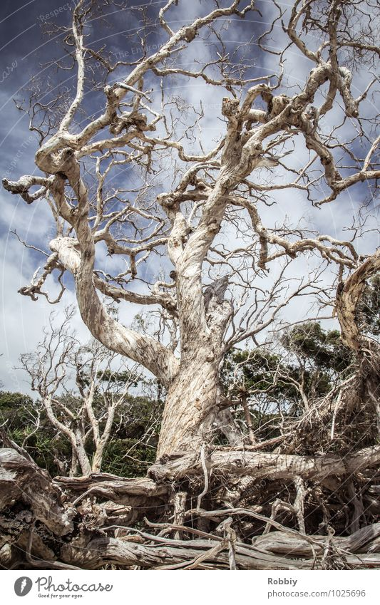 vieux artères vitales Nature Landscape Tree Mangrove Root Burl wood root network Virgin forest Australia + Oceania Old Esthetic Gigantic Historic Maritime