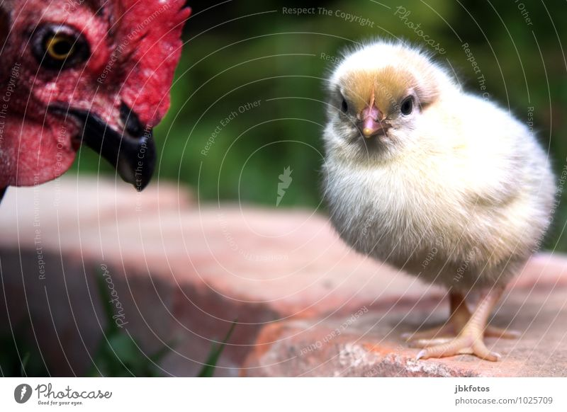 Mommy, you're annoying! Environment Nature Plant Meadow Animal Farm animal Bird Chick Barn fowl Beak 2 Baby animal Animal family Dream Agriculture