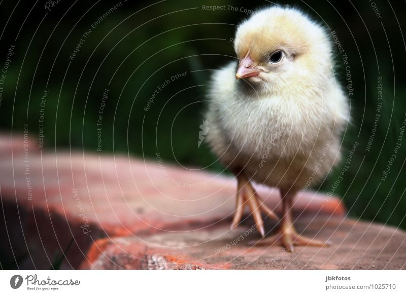 Angry bird Food Meat Nutrition Animal Farm animal Bird Animal face Wing Chick Barn fowl Rooster 1 Baby animal Esthetic Exceptional Blonde Happy Beautiful Cuddly
