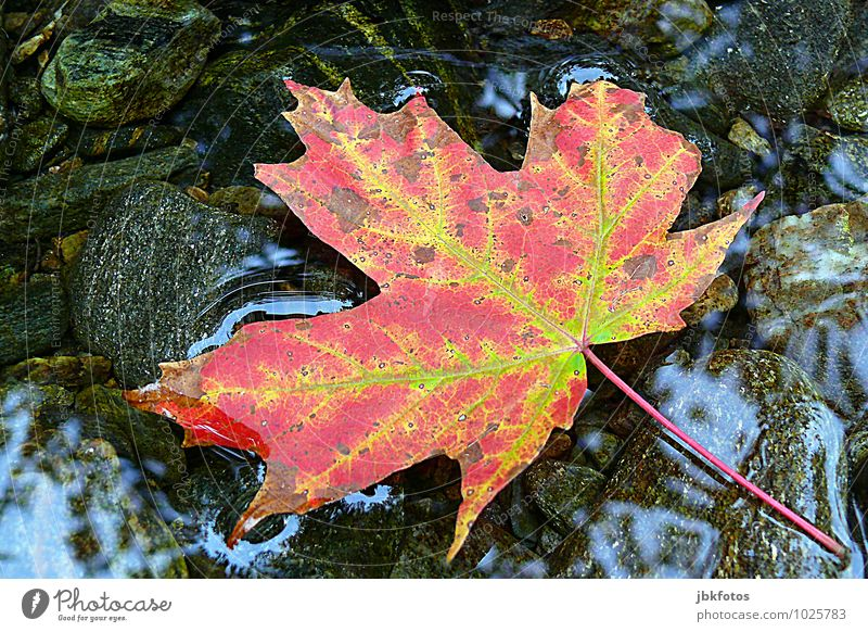 oh canada Environment Nature Plant Tree Leaf Foliage plant Agricultural crop Wild plant Maple tree Maple leaf Hip & trendy Autumnal Autumn leaves Water