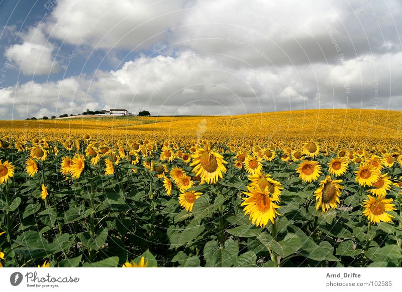 Sunflower field with house Clouds Field Flower Summer Yellow White Spring Horizon Agriculture Diligent Work and employment Happiness Friendliness Fresh Farm