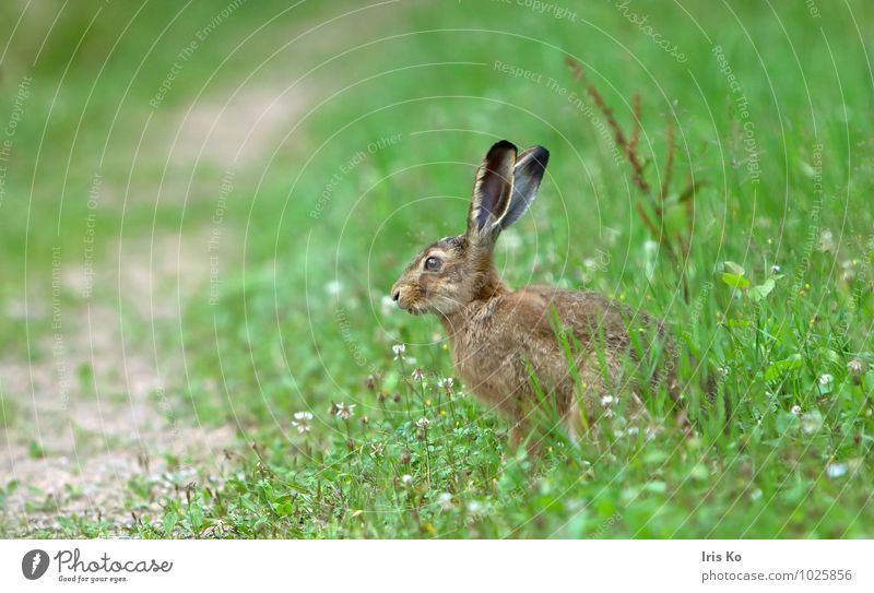 oops, ... Nature Animal Summer Meadow Wild animal Pelt Hare & Rabbit & Bunny 1 Observe Wait Cuddly Natural Cute Brown Green Love of animals Watchfulness