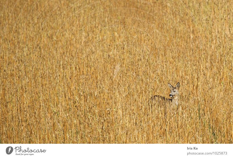 Camouflage helps Nature Plant Animal Field Wild animal Roe deer 1 Observe Stand Esthetic Natural Watchfulness Listening Beige Colour photo Subdued colour