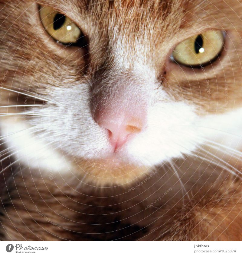 Cat Beautiful Animal Eyes Bright Orange Nose Athletic Pet Animal face Domestic cat Cuddly Red-haired Farm animal Cat eyes