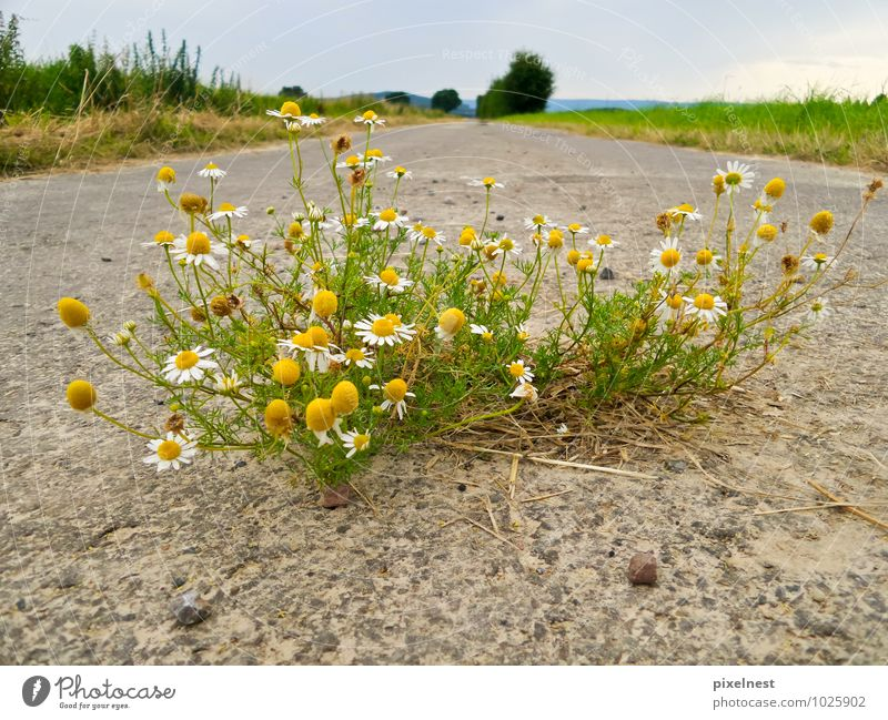 Camomile from the asphalt Herbs and spices Fragrance Summer Nature Plant Blossom Wild plant Chamomile Field Street Footpath Blossoming Growth Yellow Green White