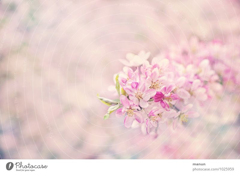 Nature White Spring Blossom Natural Bright Pink Fresh Soft Delicate Spring fever Cherry blossom Spring flower Spring flowering plant Spring colours