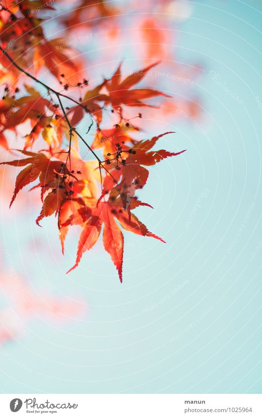filigree Nature Sky Spring Autumn Beautiful weather Plant Tree Leaf Blossom Maple leaf Maple tree Maple branch Twigs and branches Autumnal Authentic Natural Red