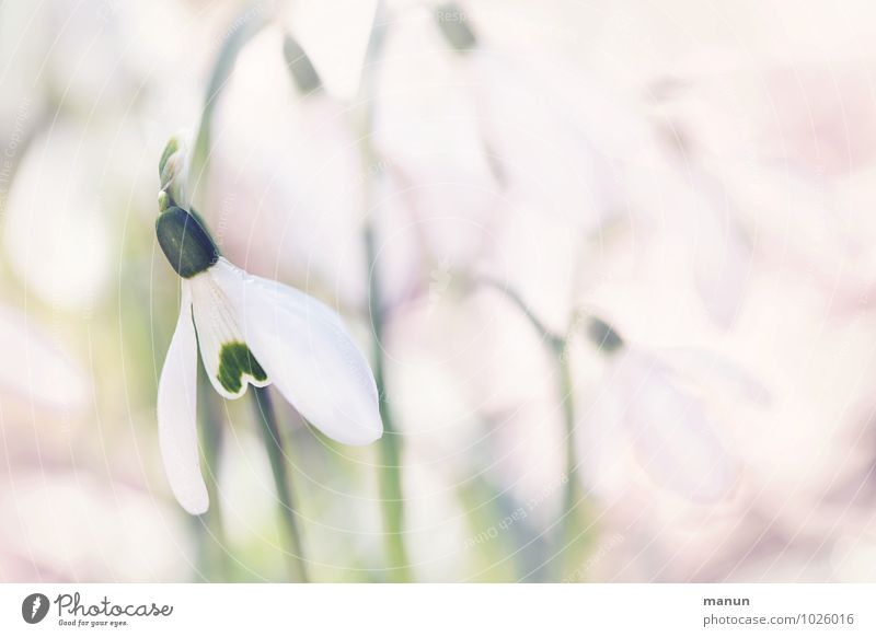 winter goodbye Nature Spring Winter Plant Flower Blossom Wild plant Snowdrop Spring flowering plant Exceptional Beautiful Cold Small Natural Green Pink White