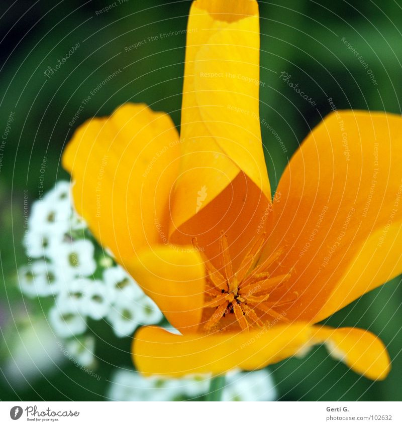 Nature White Flower Yellow Blossom Star (Symbol) Round Thin Delicate Fine Coil Pollen Pistil Disperse Deploy