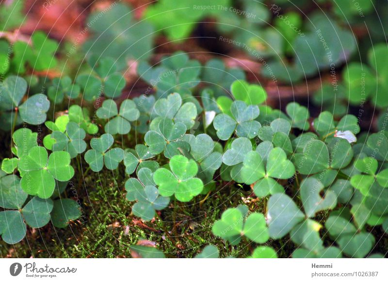 shamrock Environment Nature Landscape Plant Flower Grass Moss Leaf Blossom Foliage plant Garden Park Meadow Field Forest Hill Rock Brown Green Cloverleaf