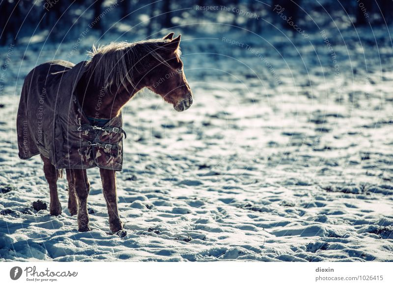 Cold hooves Environment Nature Snow Pasture Animal Pet Farm animal Horse 1 Freeze Stand Climate Colour photo Exterior shot Deserted Copy Space right Day
