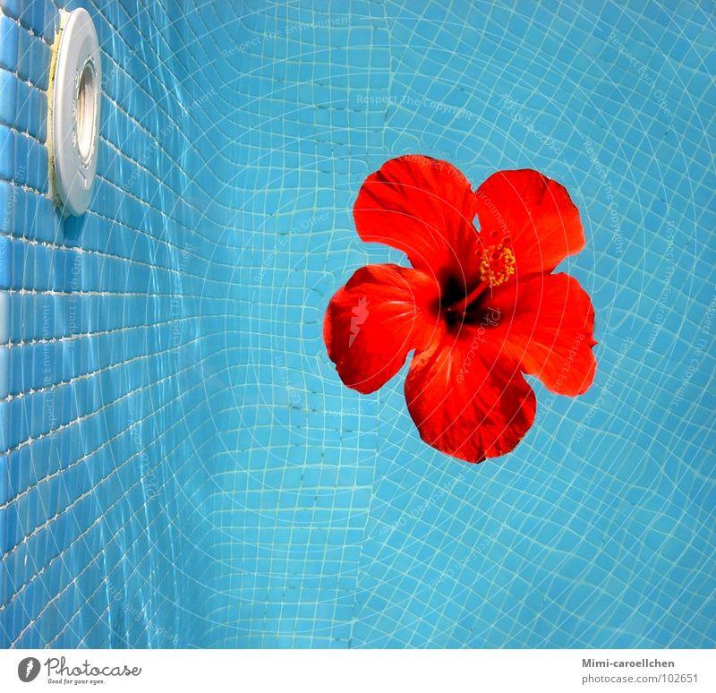 a touch of summer... Hibiscus Red Yellow Flower Large Swimming pool Visual spectacle Small Square Mosaic Summer Calm Relaxation Play of colours Luxury