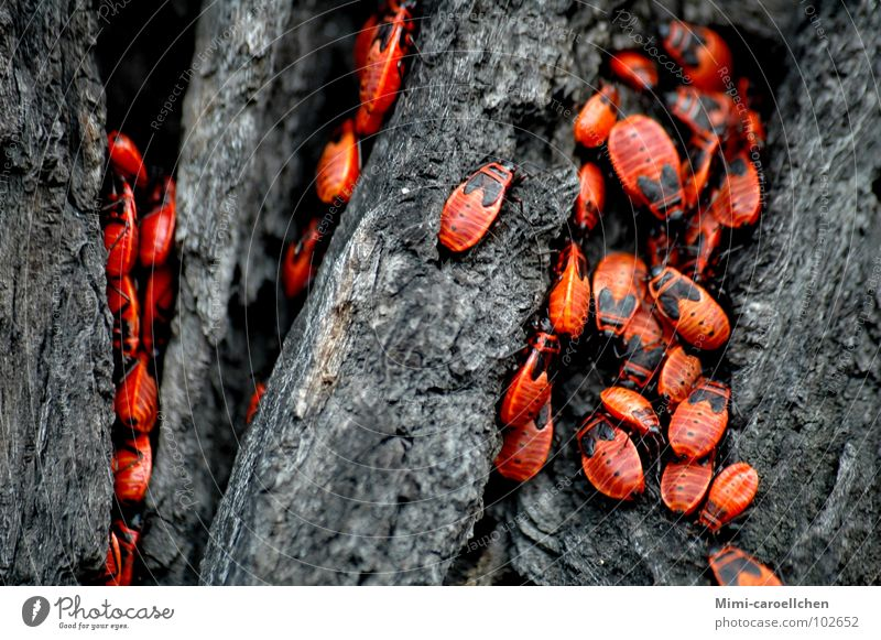 the big crawling... Red Black Insect Small Tree Dark Tree bark Gray Wroclaw Bright Near Exterior shot Beetle Poland Movement Freedom Close-up Rough
