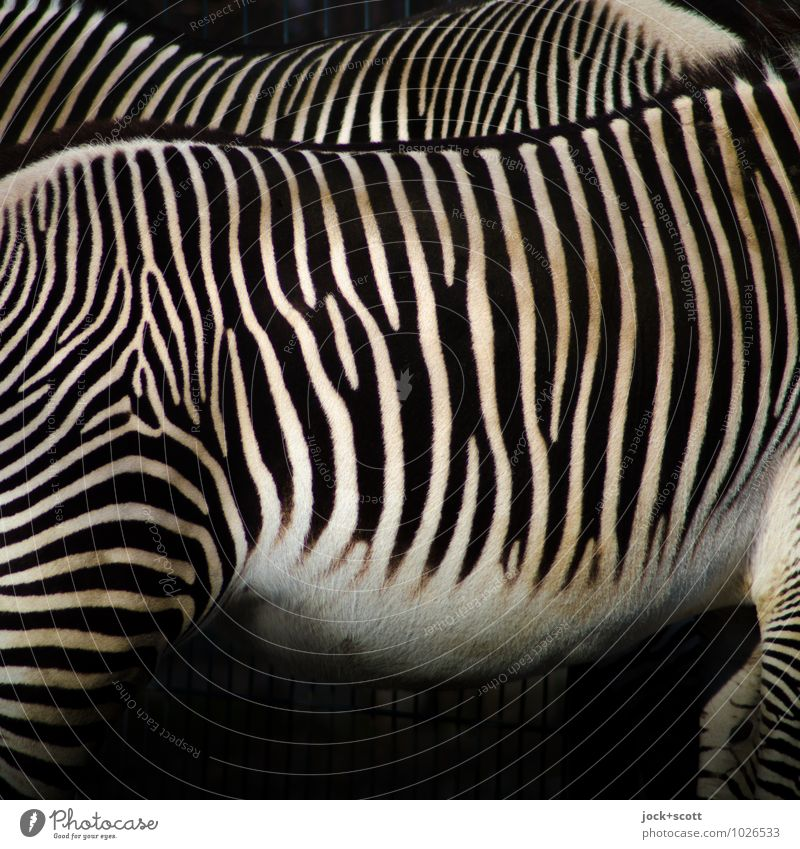 stripes make slim Zebra 2 Pair of animals Stripe Authentic Inspiration Illusion Camouflage Play of colours Side by side Evolution Detail Abstract Pattern