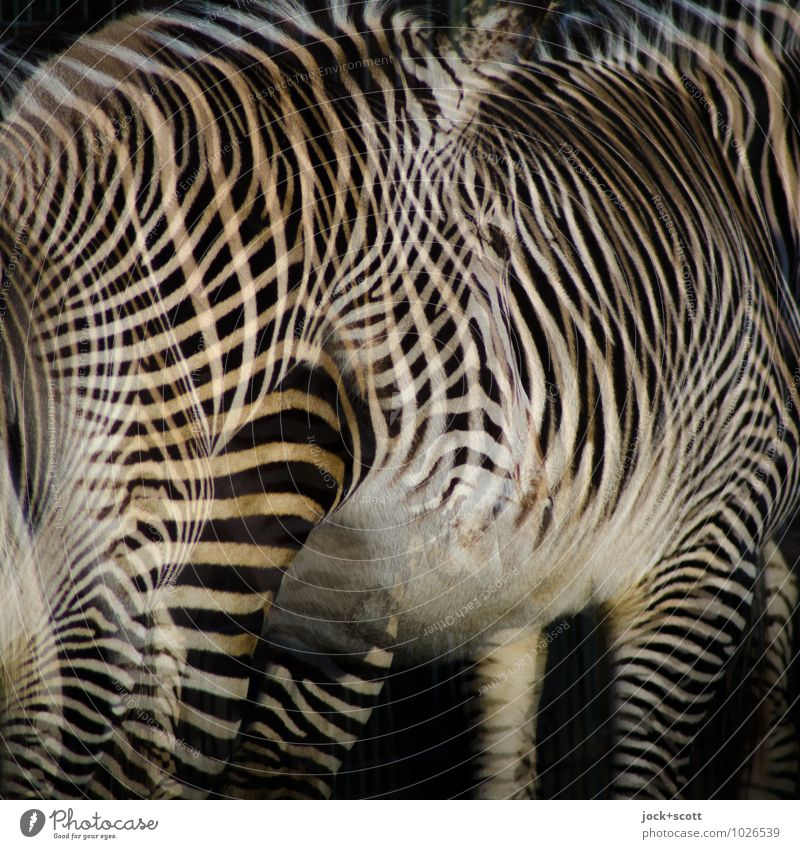 Zebra Club Design 2 Animal Stripe Fantastic Uniqueness Agreed Surrealism Irritation Double exposure Illusion Reaction Play of colours Camouflage Evolution