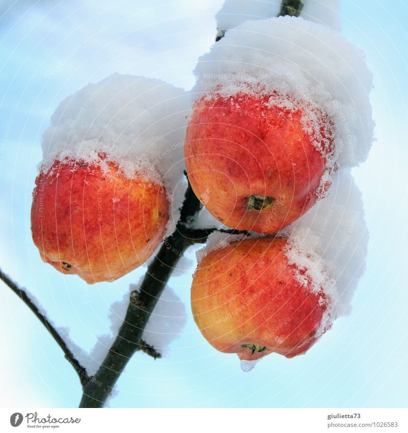 How frozen food grows Environment Nature Winter Climate Ice Frost Snow Plant Tree Agricultural crop Apple Apple tree Fruit trees Garden Freeze Hang Fresh