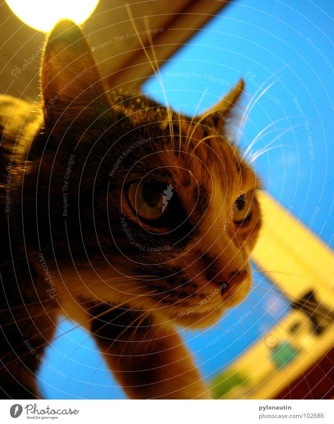 Blue Animal Window Cat Crazy Kitchen Ear Pelt Mammal Whisker Meow