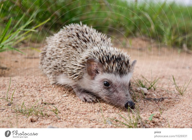 hedgehogs Environment Nature Animal Summer Beautiful weather Wild animal Animal face 1 Baby animal Sand Small Thorny Brown Green Hedgehog Spine Eyes Nose Grass