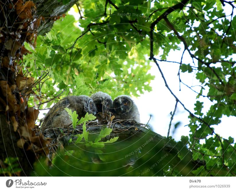 Glug together (sibling love) Environment Nature Tree Branch Oak tree Leaf canopy Forest Animal Wild animal Bird Owl Chick young branch 3 Baby animal