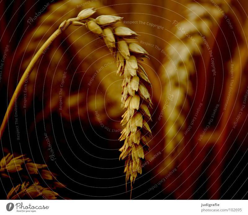 wheat Wheat Field Agriculture Yellow Summer Growth Flourish Food Ear of corn Plant Vegetarian diet Grain Orange Gold Harvest panic