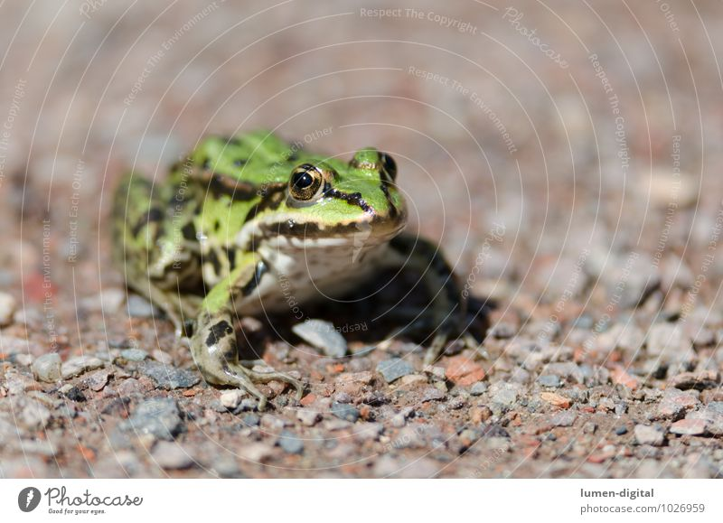 Tree frog sits on gravel path Nature Animal Water Lanes & trails Wild animal Frog 1 Stone Sand Glittering Crouch Sit Authentic Green Adventure Relaxation