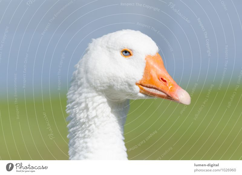 head and neck of a goose Meat Head Eyes Beak Environment Water Bird Bright Yellow White feathers Goose Poultry Neck fat Portrait photograph Profile chatter