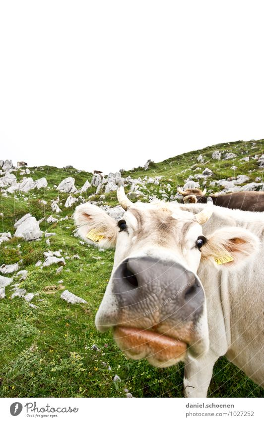 Thick lip Vacation & Travel Tourism Mountain Alps Farm animal Cow 1 Animal Looking Bright Green White Subdued colour Copy Space top Wide angle Animal portrait
