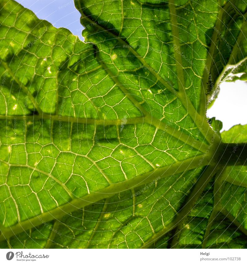 cucumber leaf Leaf Green Leaf green Growth Stalk Vessel Worm's-eye view Plant Tub Flourish Yellow Brown Near Vegetable Macro (Extreme close-up) Close-up