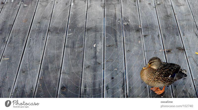 Nag Nag Animal Bird Footbridge Wood Beak Duck Wooden board chatter little shaddy