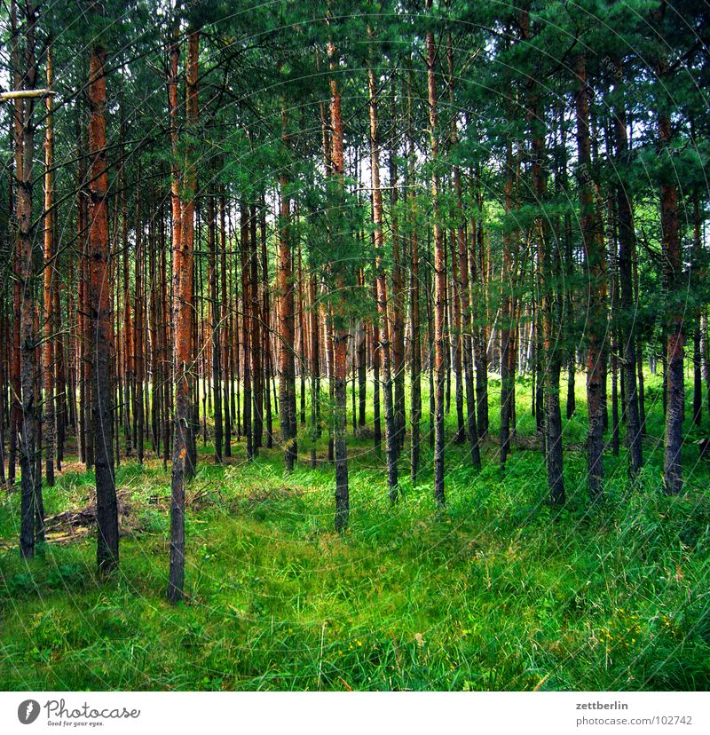 forest Forest Tree Coniferous forest Coniferous trees Wood Fairy tale Wolf Green Meadow Forest walk Romance Leisure and hobbies Tree trunk grass clearing