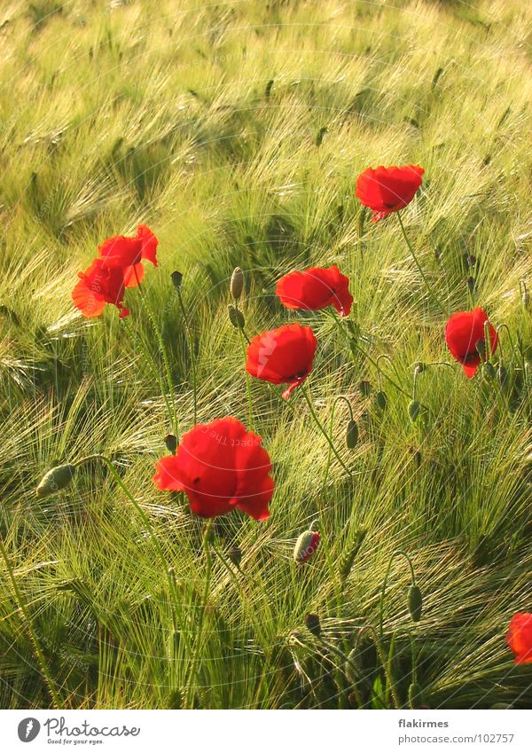 Poppy seed in cornfield Cornfield Summer Hippie Red Agriculture drive Life Flowers. plants