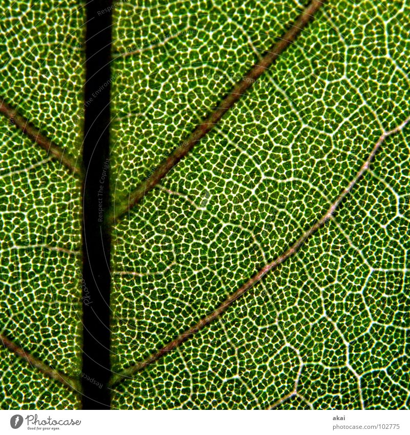 The sheet 16 Plant Green Botany Part of the plant Creeper Verdant Environment Bushes Back-light Leaf Background picture Tree Near Photosynthesis Vessel Detail