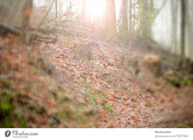 Light in the forest Environment Nature Sun Sunlight Autumn Winter Tree Forest Warmth Autumnal Automn wood Autumn leaves Leaf Tree trunk Woodground Forest walk