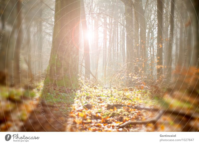 forest sun Environment Nature Sun Sunlight Autumn Tree Forest Bright Warmth Autumnal Automn wood Tree trunk Leaf Autumn leaves Colour photo Exterior shot Day