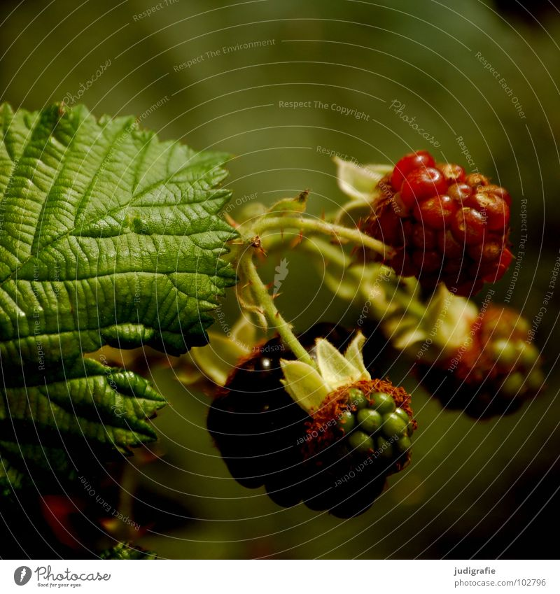 Nature Plant Red Summer Fruit Bushes Tea Delicious Vitamin Berries Thorny Flower Vegetarian diet Creeper Blueberry Immature