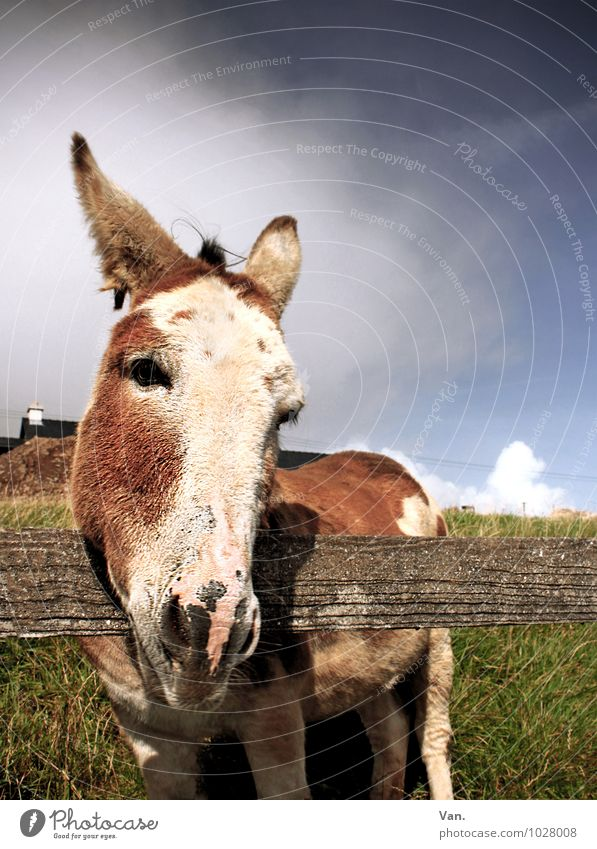Keep your ears stiff at all times Nature Animal Sky Clouds Autumn Grass Meadow Ireland Farm animal Animal face Donkey 1 Looking Curiosity Cute Fence Wood