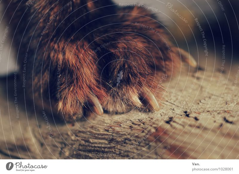 pedicure Nature Animal Pelt Claw Paw Fox Wood Brown Red Colour photo Subdued colour Close-up Detail Deserted Day Shallow depth of field