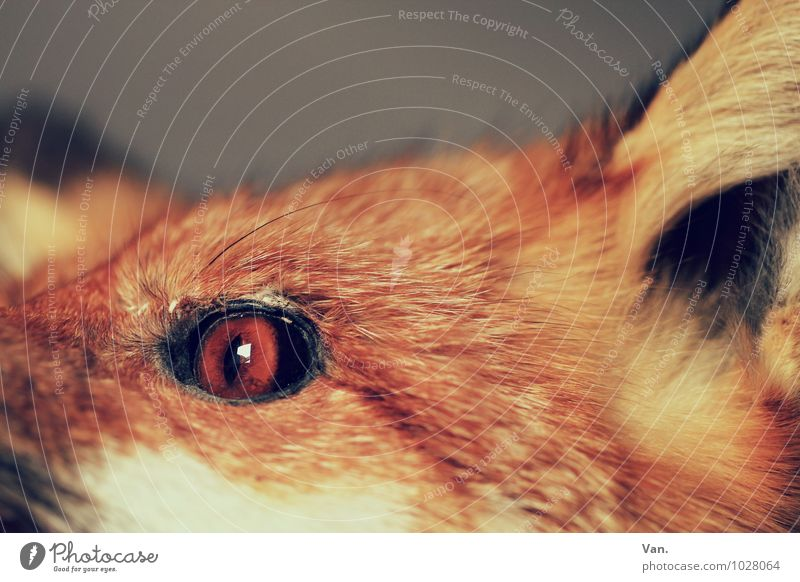 Look me in the eye Nature Animal Wild animal Dead animal Animal face Pelt Fox Eyes 1 Orange Colour photo Subdued colour Interior shot Close-up Detail Deserted