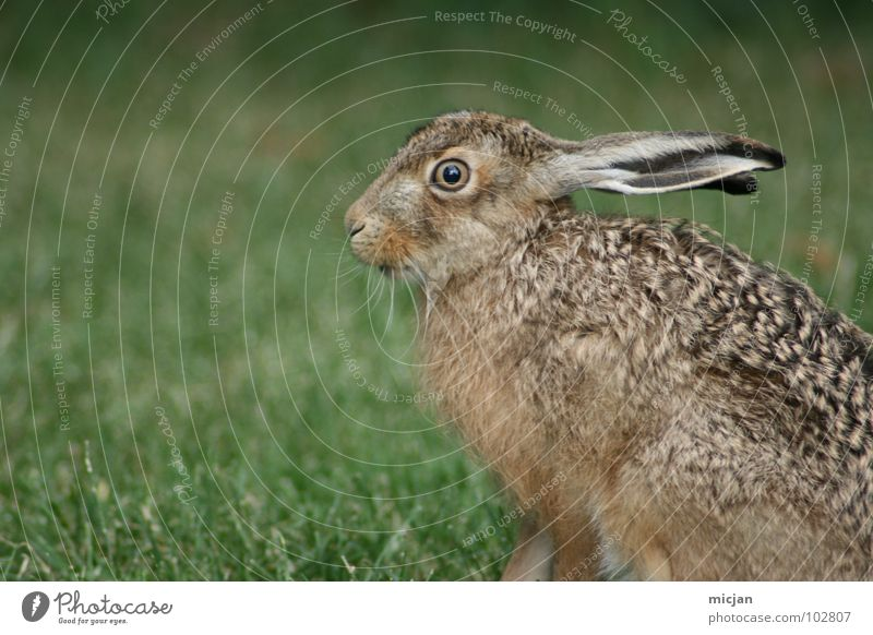 coward Hare & Rabbit & Bunny Animal Snout Cute Wild animal Motionless Grass Ready to start Walking Looking Beautiful Living thing Jump Hop Lawn Profile Nature