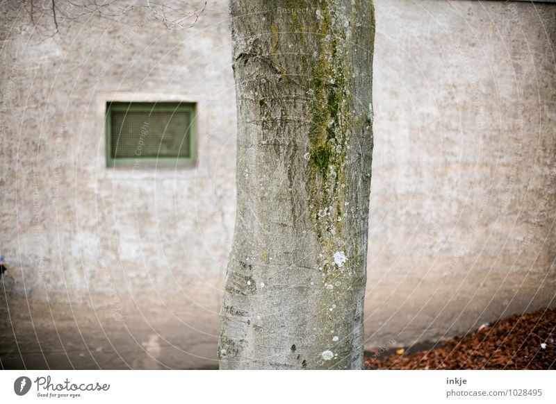 city beech Autumn Tree Beech tree Tree bark Tree trunk Outskirts Deserted Wall (barrier) Wall (building) Facade Window Gloomy Town Colour photo Exterior shot