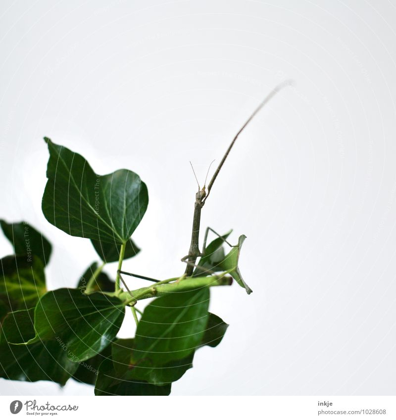 waving farewell... Animal Ivy Wild animal stick insect Locust Insect 1 Crouch Crawl Sit Exceptional Thin Friendliness Long Green White Emotions Love of animals