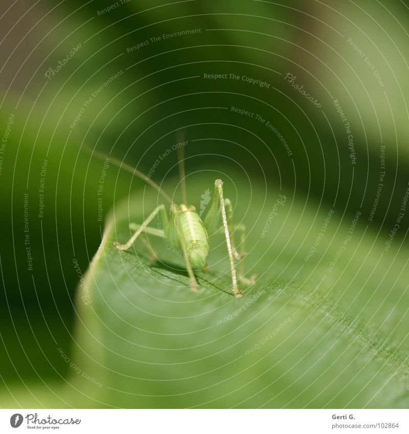 Nature Green Plant Leaf Animal Colour Jump Legs Line Bright Baby animal Fresh Perspective Stand Thin Insect