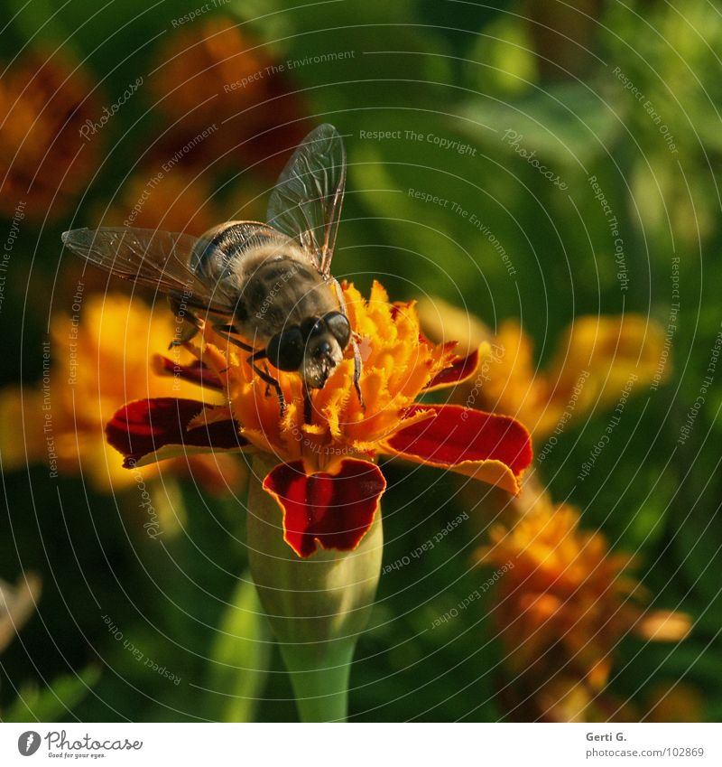 Nature Beautiful Flower Green Plant Red Black Yellow Blossom Wing Insect Bee Botany Pollen Striped Bumble bee