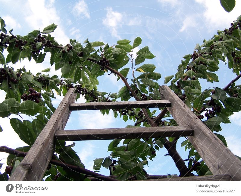 skywards Cherry Tree Branchage Wood Shaky Dry Rung Summer Ladder Sky Blue Old Freedom Dangerous Level Above Fruit Stairs