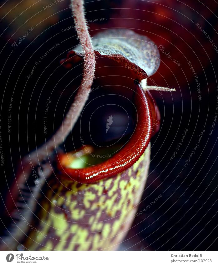 Carnivore of the 3. Plant Green Red To feed Captured Canna plant Macro (Extreme close-up) Close-up Carnivorous plants attractants Nutrition Ambush Nepetens