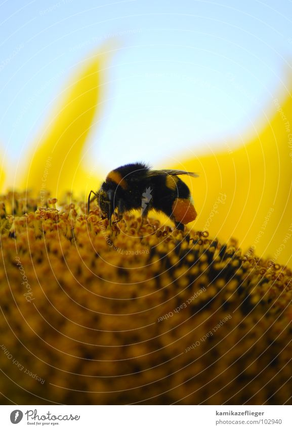 Sky Summer Yellow Legs Brown Orange Sweet Wing Insect Collection To feed Sunflower Pistil Pollen Honey Bumble bee