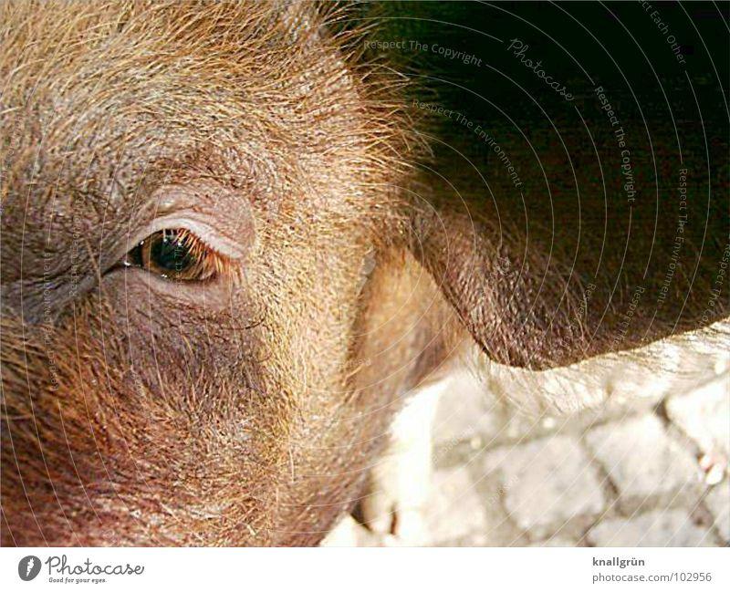 brown eye Swine Brown Bristles Eyelash Sunbeam Animal Mammal Hair and hairstyles Ear pplestones Looking Eyes